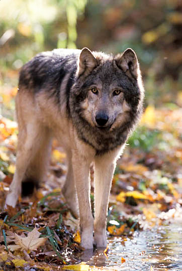 Gray Wolf, (Canis lupus) In hardwood forest of northern Minnesota. Fall. Captive Animal.