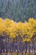 Aspen grove in autumn colors during snow squall contrasts with pine forest near East Glacier Montana