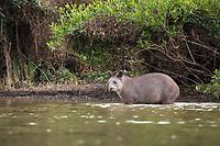 A tapir, Tapirus terrestris, crossing the Cuiaba River in the Pantanal of Brazil.
