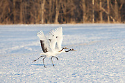 Red-Crowned Cranes running to take off, Hokkaido, Japan