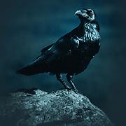 Raven atop Ben A'an, Trossachs