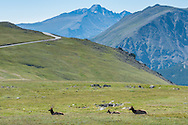 Wildlife and Trail Ridge Road in Rocky Mountain National Park.