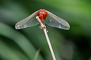 Red dragonfly perched on a stalk of bamboo, China.