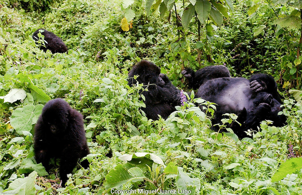 Virunga National Park, Democratic Republic of Congo: The Humba family of mountain gorillas laze in the lush greenery. The silverback male, for whom the family is named, is at right. Congolese park rangers fear they are losing a battle against various warring militia groups that have taken over swathes of the park. Seven mountain gorillas have been killed so far this year. (PHOTO: MIGUEL JUAREZ LUGO).