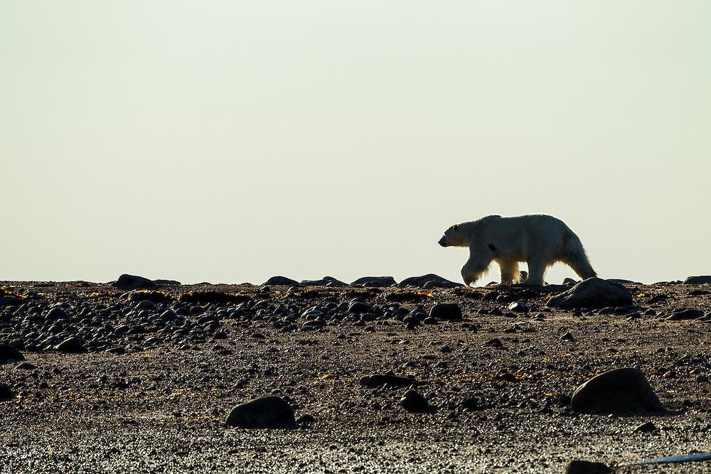 Canada, Manitoba, Large Adult Male Polar Bear (Ursus maritimus) walking along coast at dawn at Hubbart Point along Hudson Bay