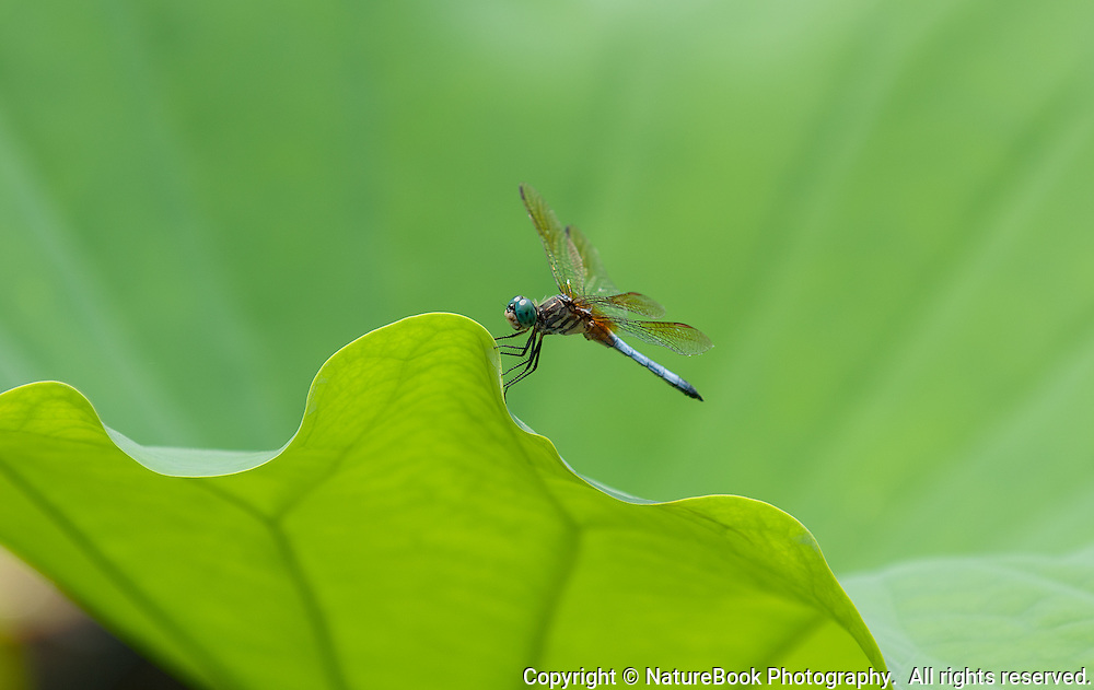 A dragonfly has alighted on a large floating garden leaf, but only for a moment.