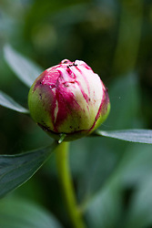 30 May 2009: Pink peony bud with ant crawling on petals