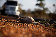 Santa Vitoria_MG, Brasil...Sirema (Cariama cristata) morta na BR 365 em Santa Vitoria, Minas Gerais...The Red-legged Seriema (Cariama cristata) dead in the highway BR 365 in Minas Gerais...Foto: LEO DRUMOND / NITRO