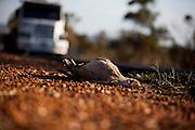 Santa Vitoria_MG, Brasil...Sirema (Cariama cristata) morta na BR 365 em Santa Vitoria, Minas Gerais...The Red-legged Seriema (Cariama cristata) dead in the highway BR 365 in Minas Gerais...Foto: LEO DRUMOND / NITRO