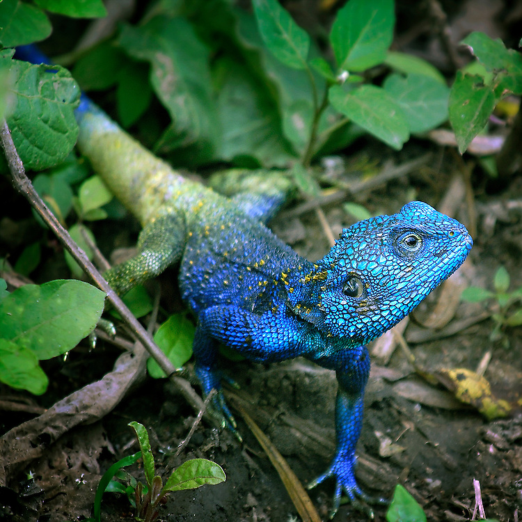 Blue HEaded Tree Agama