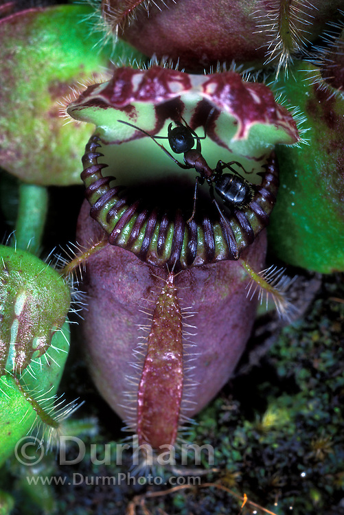 The albany pitcher plant (Cephalotus follicularis) is native to small area in Southwest Australia. The genus Cephalotus has only one species and no close relatives in the plant kingdom. These plants are small as can be seen here with the ant for scale. This specimen was cultivated. June 2001