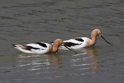 American Avocet, Recurvirostra americana, Baylands Nature Preserve, Palo Alto, California, United States of America