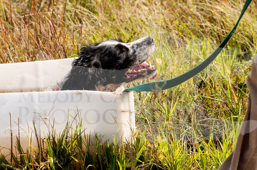 The 2017 Gateway Upland Hunt Club Hunt Test  event took place at Sportsmen's Spaniel Club of Calumet, in Morris, IL. Photography was made Sept 23, 2017.  The weather was beautiful sunny and hot. The dogs took advantage of the water trough provided!