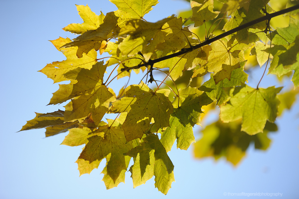 A branch of Yellow Autumn Leaves, glistening in the sunchine against a bright blue sky