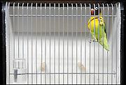 Nederland, Druten, 15-11-2003..Een parkiet klimt tegen de tralies van een vogelkooitje tijdens een vogelshow, vogeltentoonstelling. Om het verblijf in de kleine kooitjes zo kort mogelijk te houden worden zij minder lang als voorheen tentoongesteld. Hobbydieren, topische dieren, huisdieren...Foto: Flip Franssen/Hollandse Hoogte
