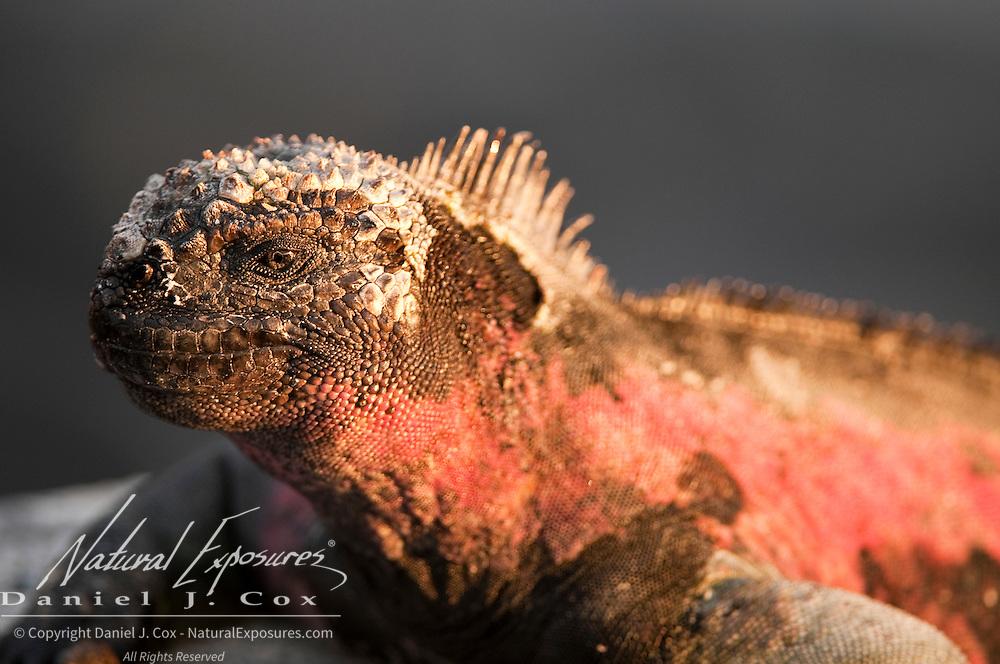 Marine Iguana (Amblyrhynchus cristatus) warms itself on the dark rocks surrounding Espanola Island, Galapagos, Ecuador.