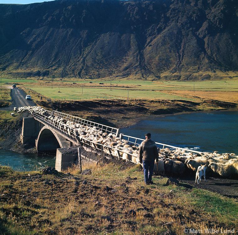 Fjárrekstur við Alviðru, Sogsbrúin gamla 1966, Grímsnes- og Grafningshreppur /  Sheeps on the way to slaughterhouse - crossing over the old Sog bridge near Thrastarskogur. Grimsnes- og  Grafninsghreppur.