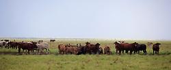 Kimberley cattle on Roebuck Plains station.