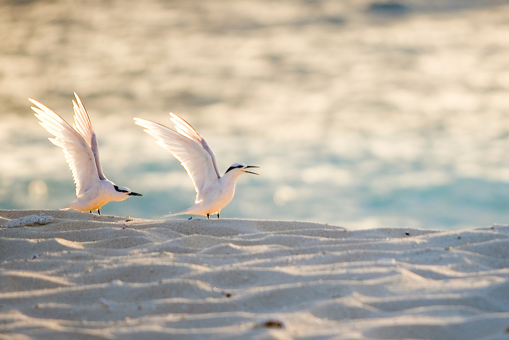 seabirds on islet of Namotu off the coast of Viti Levu, Fiji Islands