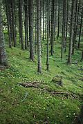 Gammel skog, gran, Øsa (Ausa) i Selbu. Foto: Bente Haarstad Norwegian forest and different trees. Gran (Picea abies), «Norway spruce», er et tre i furufamilien.