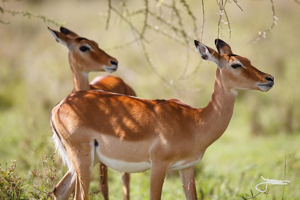 Impala hiding in the shade