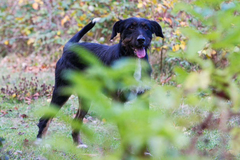 Hunting dog during a driving hunt for Wild boar (Sus scrofa) in the forest area outside the village of Mehadia, Caras Severin, Romania.