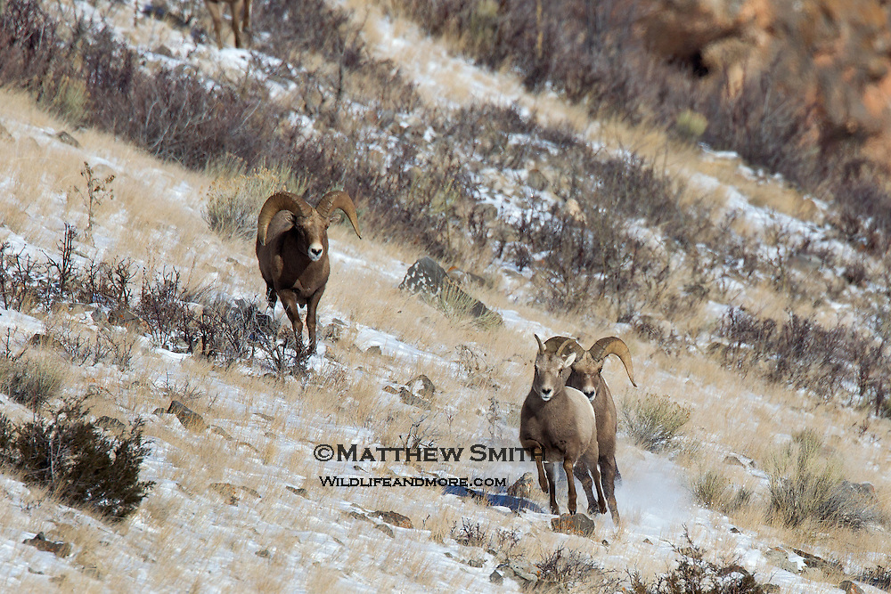 Two Rams chasing a Ewe in the National Elk Refuge Jackson, Wyoming