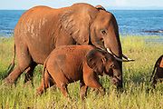 Young African Bush Elephant (Loxodonta africana) with mother. Photographed at Lake Kariba National Park, Zimbabwe