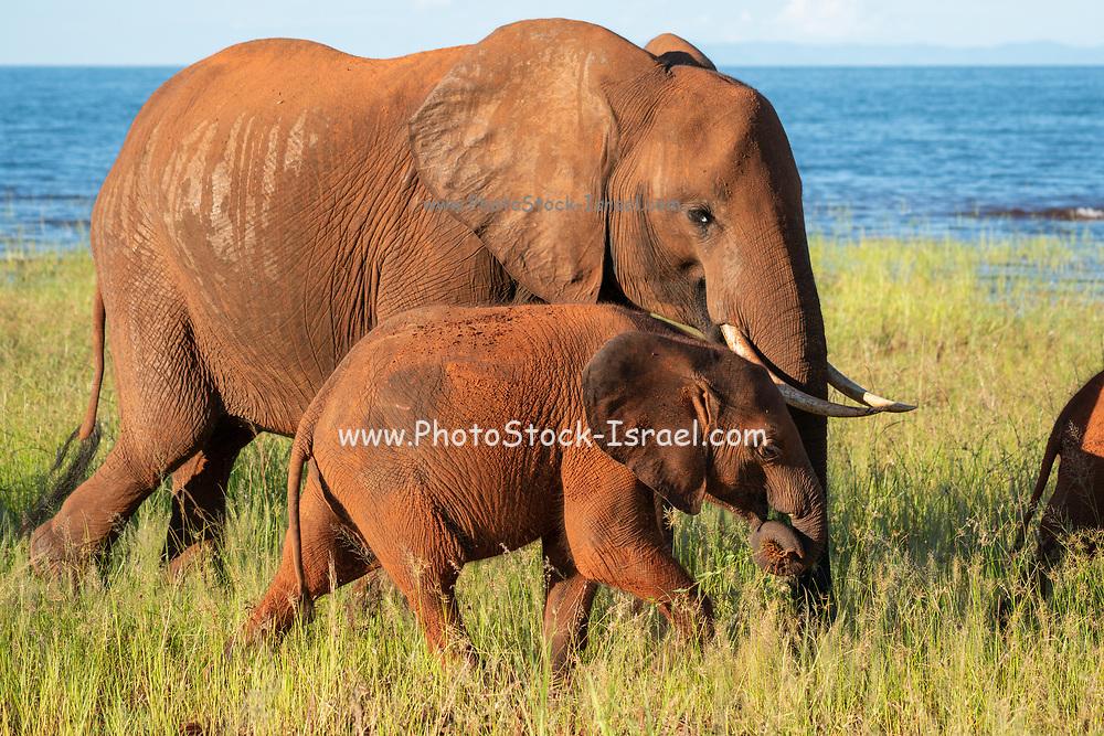 Young African Bush Elephant (Loxodonta africana) with mother. Photographed at Lake Kariba National Park, Zimbabwe
