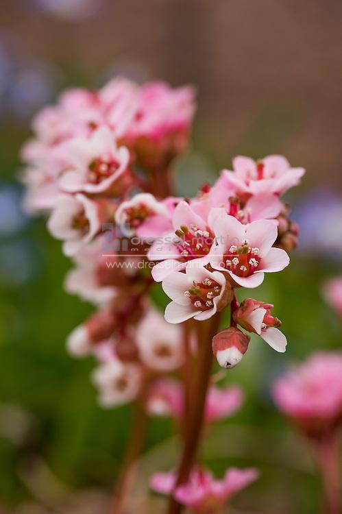 bergenia ciliata rock alpine garden in spring