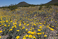 Desert Marigolds (Baileya multiradiata) at Big Bend Ranch State Park, Texas