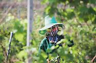 worker mask vineyard winery hua hin thailand