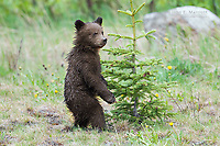 Grizzly bear cubs, Banff National Park