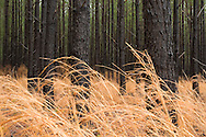 Broom Sedge( Andropogon virginicus ) and Loblolly Pine ( Pinus taeda ) Plantation, wet from rain, South Carolina Low Country, USA