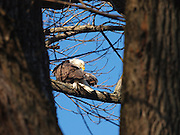 A bald eagle rest in a tree at Conowingo Dam on Saturday, December 12, 2009 in Conowingo, MD.