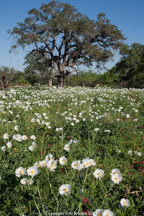 White Prickly Poppy (Argemone albiflora), Gillispie County, Texas
