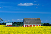 canola and red barns<br />Pilot Mound<br />Manitoba<br />Canada