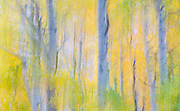 Aspen Forest Impressions , June Lake Loop, Inyo National Forest, California 2014