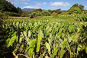 Taro Field, Wailua Valley, Hana Coast, Maui, hawaii