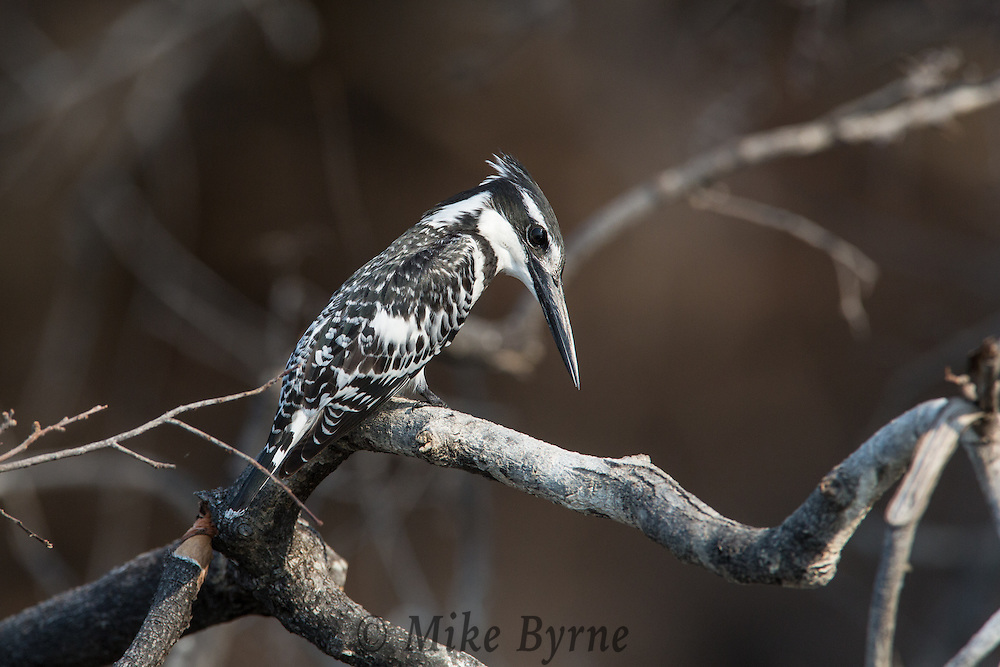 Pied kingfisher in Chobe National Park, Botswana.
