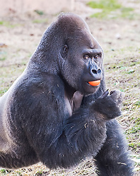 EXCLUSIVE: A male gorilla named Louis has captivated the world by walking upright on two legs at The Philadelphia Zoo. Keepers say that the 18 year-old lowland gorilla walks upright when he is carrying food, presumably to keep it all clean. The Philadelphia zoo is the oldest Zoo in the United States, it July 1, 1874 when the US was not even 100 years old. Louis's born on May 12 1999 at the St. Louis Zoo and brought to Philly in 2004. He is almost 6' high and 470 lb. 19 Mar 2018 Pictured: Louis. Photo credit: MEGA TheMegaAgency.com +1 888 505 6342