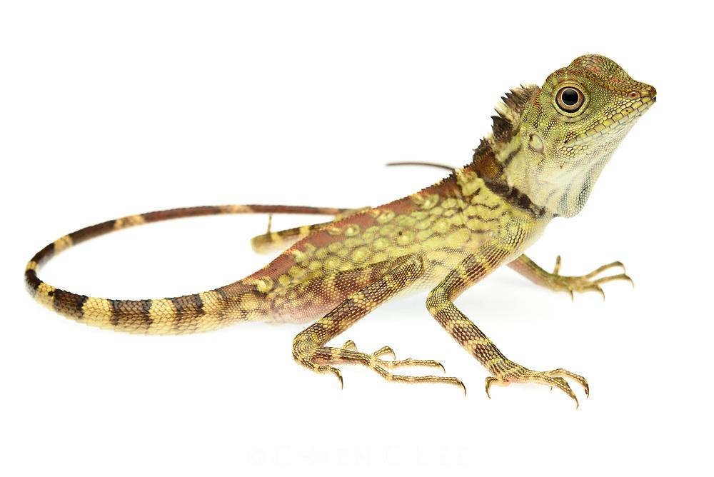 Borneo Anglehead Lizard (Gonocephalus bornensis)