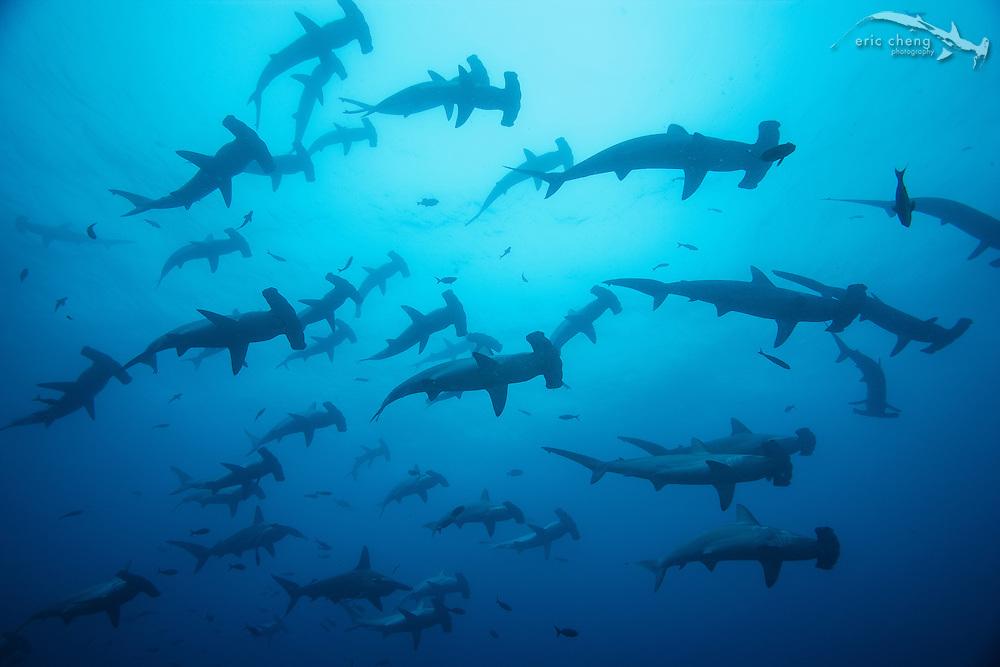 Schooling scalloped hammerhead sharks (Sphyrna lewini) at Darwin, Galapagos, Ecuador.