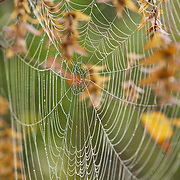 A beautiful, large spiderweb with Fall leaves.