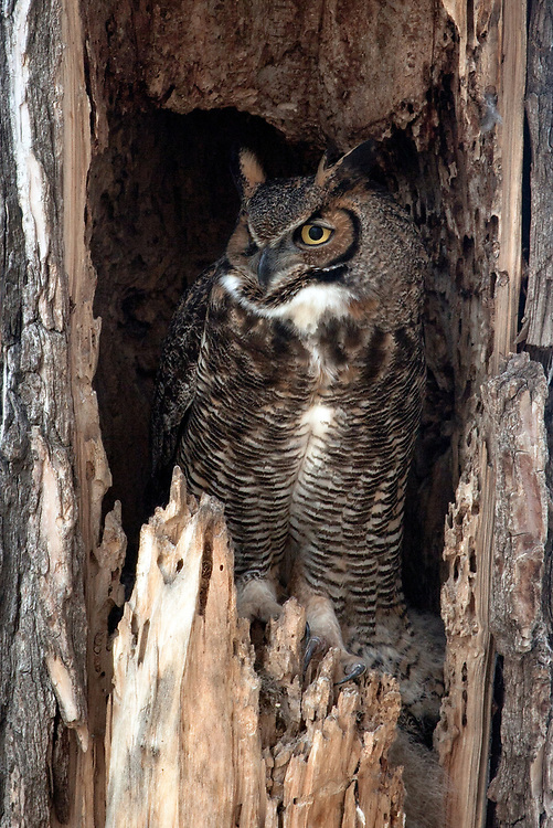 Great Horned Owl (female) sitting in nest above growing owlets, Gunbarrel, Colorado