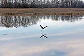 Heron, Great Blue / Ardea herodias