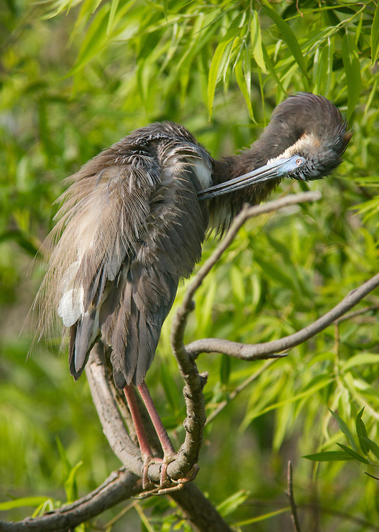 A tricolored heron preens near its nest in Pinckney Island National Wildlife Refuge's Ibis Pond, where a variety of birds and other creatures are nesting.