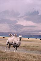 Chine. Sinkiang. Chaine du Pamir. Lac karakul. Chameau de Bactriane. // Bactriane camel, Karakul lake, Pamir mountain, Sinkiang, China