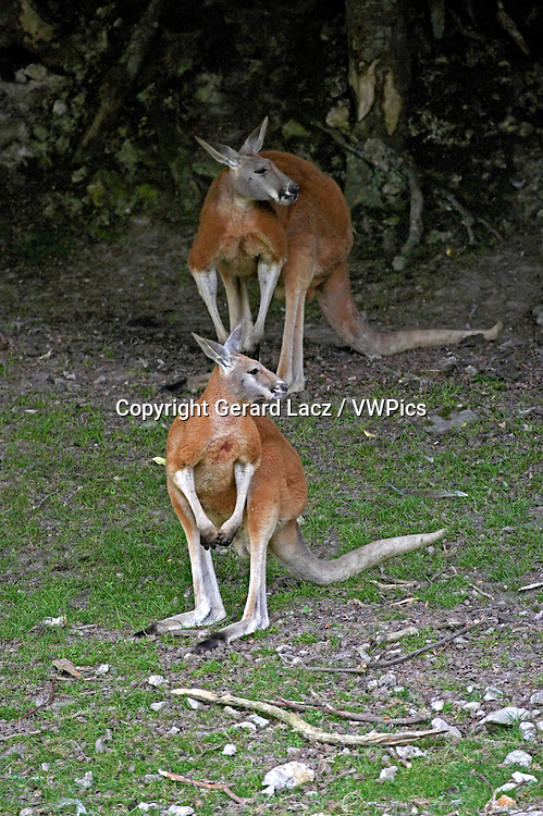 Red Kangaroo, macropus rufus, Adults standing on Grass