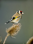 Goldfinch Carduelis carduelis L 12cm. Delightful, colourful bird. Yellow wingbars and white rump seen in flight is unique. Sexes are similar. Adult has striking black and white pattern on head, and red face. Back is buffish brown and underparts are mainly whitish, suffused pale buff on flanks and sides of breast. Wings are black with yellow wingbar and white tips to flight feathers; black tail feathers are white-tipped. Bill is narrow, conical and pale pinkish buff. Juvenile is mainly pale buffish white, streaked brown on flanks and back. Wings are black with a yellow wingbar. Voice Utters a tinkling, trisyllabic call. Song is twittering and rapid. Status Widespread. Common in breeding season in scrub, deciduous woodland and mature gardens. At other times, forms roving flocks that feed on thistle and teasel seeds; many birds migrate to mainland Europe in winter.